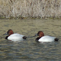 Canvasback Duck (male)