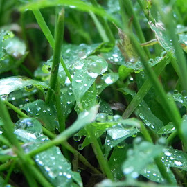 Water drops on grass by Kathryn Nagelberg - Nature Up Close Leaves & Grasses ( grass, water drop )