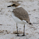 Kentish Plover; Chorliteo Patinegro