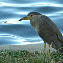 Black-crowned Night Heron (subadult)