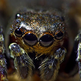 What big eyes you have by Stuart Gray - Novices Only Macro ( macro, novice, jumping spider, arachnid, spider, close up, eyes )