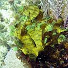 Leafy Rolled-Blade Alga
