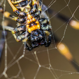 A Different Perspective by Mel Stratton - Novices Only Macro ( macro, web, spider, belly, spider web,  )
