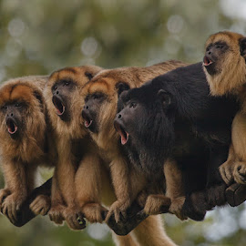 singing monkeys by Aya de Ruiter - Animals Other Mammals ( howling monkeys, howler, brulaap, monkey, howler monkeys )