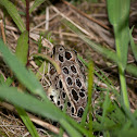 (Brown Morph) Northern Leopard Frog