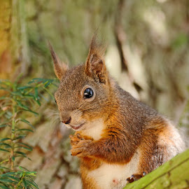 Please by Cédric Guere - Animals Other ( wild, red, nature, wildlife, squirrel, animal,  )