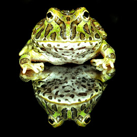 by Lisa Coletto - Animals Amphibians ( reflection, frog, pixie frog, green,  )