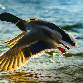 duck by BO LED - Animals Birds ( water, flying, animals, duck, wildlife, river )