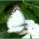 Striped Albatross Butterfly (Male)