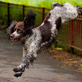 by James Blyth Currie - Animals - Dogs Playing ( playing, fence, london, jumping, park, cocker spaniel, battersea park, dog )
