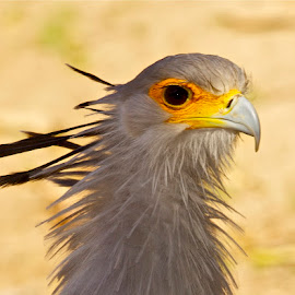 I'am the Secretary by Steve Lofvendahl - Animals Birds ( close up, birds, animal )