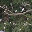 Cattle Egrets and Night Heron