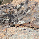 Coastal Tiger Whiptail
