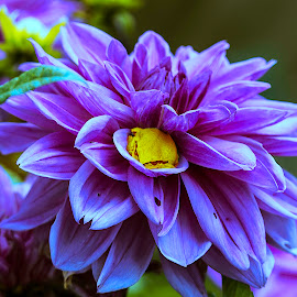 Yellow Frog on Purple Flower by Drake Dyck - Animals Amphibians ( plant, nature, color, frog, yellow and purple, flower, purple, yellow )