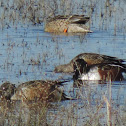 Northern Shoveler Ducks