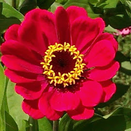 One of my zinnias by Paul Guzewicz - Nature Up Close Gardens & Produce