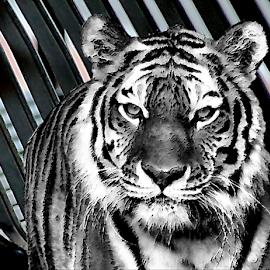 No Holds Barred by Darlene Lankford Honeycutt - Digital Art Animals ( layered, animals, b&w, deez, dl honeycutt, tigers, digital,  )
