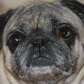 Doggy Face 3 by Rita Uriel - Animals - Dogs Portraits ( face, model, smile, dog, portrait, pug )