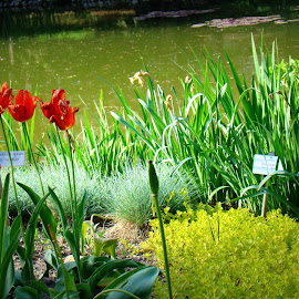 Tulips and pond by Tihomir Beller - City,  Street & Park  City Parks ( park water, flowers, pond )