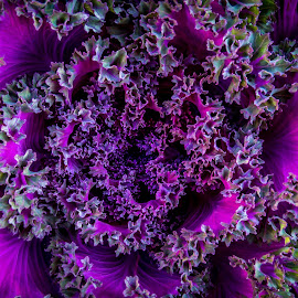 Cabbage Flower by Noëlle Brown - Nature Up Close Gardens & Produce ( contrast, purple, green, plants, close up, flower )