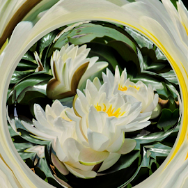 Waterlily Abstract by Tina Dare - Digital Art Abstract ( abstract, nature, manipulated, distorted, white, water lilies )