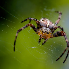 A cross orbweaver (a.k.a. Diadem Spider) living in my back yard. She's missing the second leg on her right side and half of the back one, but still moves super fast. Taken with my Fuji X-E1 and Minolta 50mm lens with Raynox DCR-250 clip-on macro adapter. Posted on JungleDragon, a wonderful site for sharing photos of animals and identifying their species:http://www.jungledragon.com/image/21505/portrait_of_a_diadem_survivor.html by Jeremy Clarke - Animals Insects & Spiders