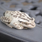 Cope's(Southern) Grey Tree Frog