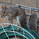 Grey Squirrel (female)