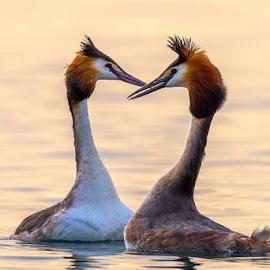 Great crested grebe love by Roberto Melotti - Animals Birds ( roberto melotti, heart, podiceps cristatus, nikon d810, great crested grebe, birds, love, wooing, flirting, courting, italy, courtship, svasso maggiore )