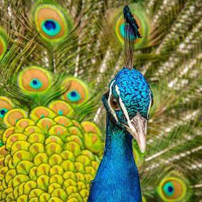 by Arti Fakts - Animals Birds ( bird, wheel, blue, green, elegant, proud, colored, artifakts, feathers, beack, peacock,  )