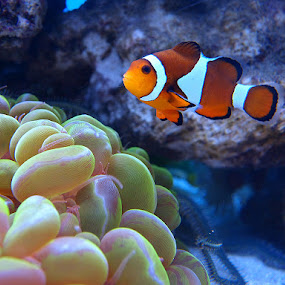 by Name of Rose - Animals Fish ( clown, fish )