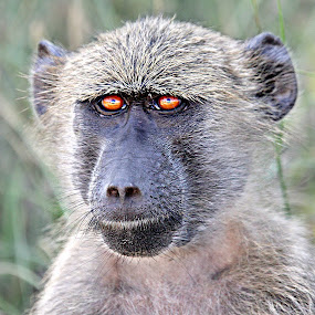 Young Bob  by Pieter J de Villiers - Animals Other ( mammals, animals, baboon, other, kruger national park, south-africa, young, portrait,  )