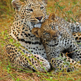Shangwa and her Blue eyed Cub by Anthony Goldman - Animals Lions, Tigers & Big Cats ( shangwa, big cat, wild, predator, shigavi, female, blue eyed, ulusaba, cub, leopard )