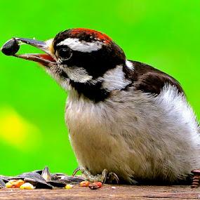 DOWNY HEAD by Doug Hilson - Animals Birds (  )