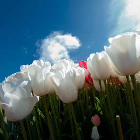 ethereal view by Kelvin Watkins - Flowers Flower Gardens ( bueaty, angelic, blue, white, cloud, tulips )