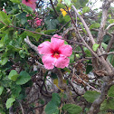 Hibiscus or rosemallow