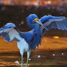 3 colored heron by Alan Potter - Animals Birds