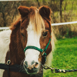 Marengo by Erin Madsen - Animals Horses ( pony, farm animal, cute, photography )