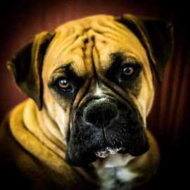 Gracie Mae by James Culbreth - Animals - Dogs Portraits ( gracie mae, boxer dog, fawn, dog, portrait )