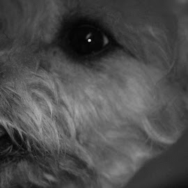 MISS MIA SHOPE  by Robin Hennon - Animals - Dogs Portraits (  )
