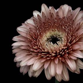 Gerbera by Fernanda Magalhaes - Flowers Single Flower ( flores, nature, pink, close up, gerbera, flower,  )