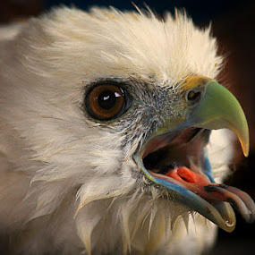 Eagle Head by Ruri Irawan - Animals Birds