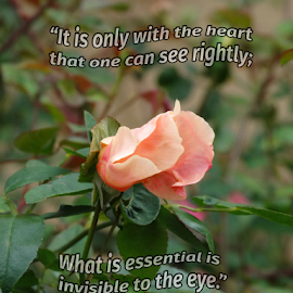 The Texas Wild Rose by Maryann Morabito - Typography Quotes & Sentences ( orange, rose, wild, saying incorporated, texas, white, pink, bud, rose bud, tri-colored, simplicity of nature )