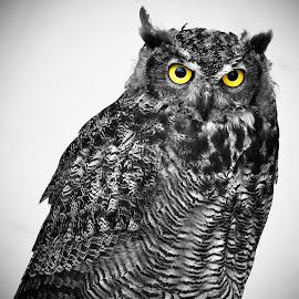Virginia Eagle Owl 2 by Marco Bertamé - Digital Art Animals ( bird, wild, bird of prey, black and white, color splash, owl, yellow, portrait, eyes,  )