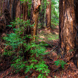 Muir Pathway by Richard Duerksen - Landscapes Forests ( muir woods )