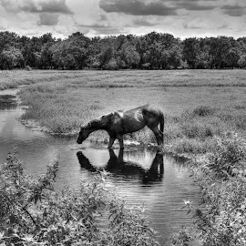 Summertime Cooler by Mark Ayers-Stebenne - Animals Horses ( b&w, arcadia, florida, tropical, horse, summertime, waterhole,  )