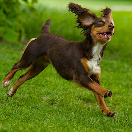 by James Blyth Currie - Animals - Dogs Puppies ( playing, cockerspaniel, kensington gardens, london, puppy, dog, running )