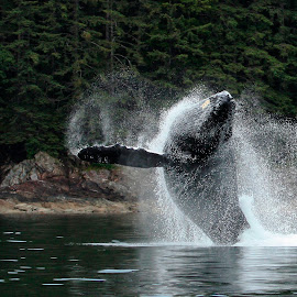 Coming at you by Adam Taylor - Novices Only Wildlife ( humpback, breach, alaska, onlyinalaska, whale )