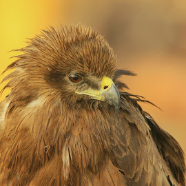 close up! by Aayush Dudhiya - Animals Birds ( love, orange, eagle, background, close up )
