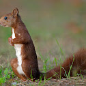 Ardilla roja (Red squirrel)
